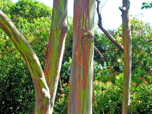 Eucalyptus_deglupta-trees